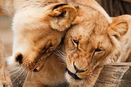 Zwei Löwen kuscheln. Liebe und Partnerschaft
