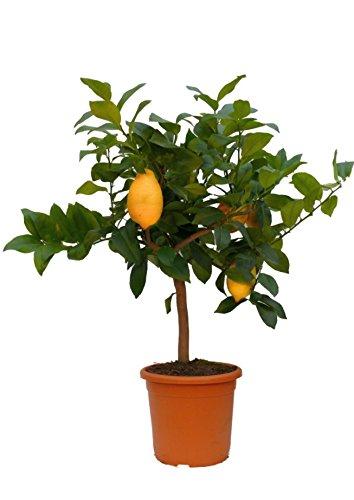 Geschenk Zitronenbaum