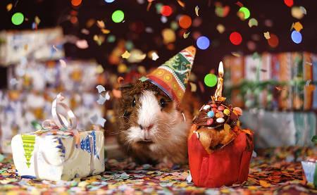 Meerschweinchen sagt Herzlichen Glückwunsch zum Geburtstag